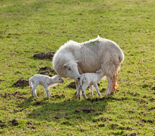 New Born Lamb Twins With Mother