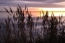 Roseaux Au Coucher De Soleil Sur Le Bassin D'arcachon