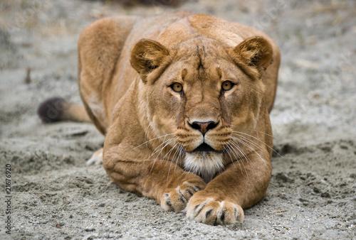 Fotografie, Obraz  lioness
