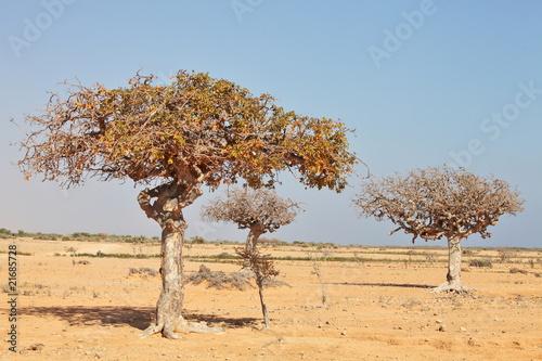 Photo myrrh tree (Commiphora myrrha)