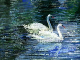 Fototapeta Zwierzęta Two swans