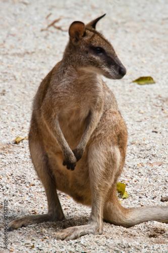 Fotografia, Obraz  baby kangaroo 2