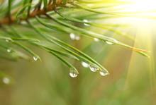 Water Drops At Fir Tree.