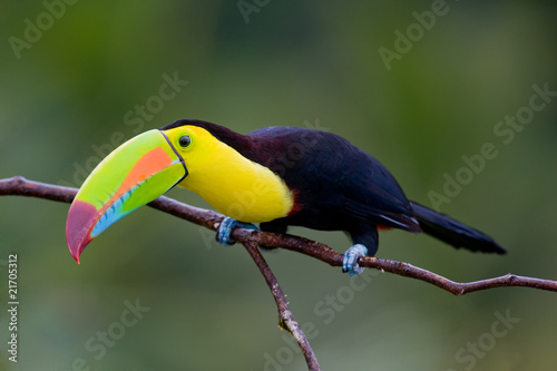 In de dag Toekan Keel Billed Toucan, from Central America.