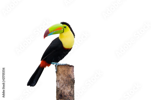 In de dag Toekan Keel Billed Toucan, from Central America. Isolated on White.