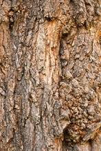 Background Of Bark Of Black Lo...