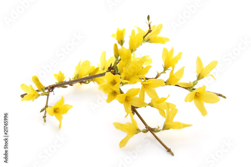 Photo Forsythia