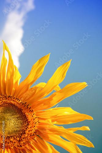 In de dag Zonnebloem Beautiful yellow sunflower