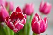 canvas print picture - rosa Tulpen