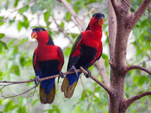 Black Capped Lories