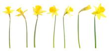 Daffodils On White Background
