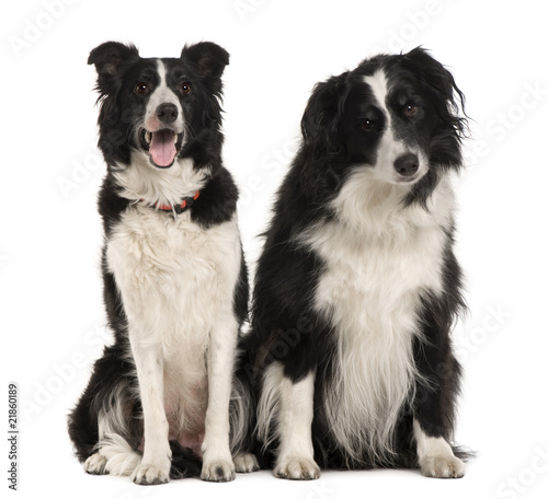 Two Border Collie, sitting in front of white background Fotobehang