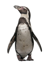 Front View Of Humboldt Penguin...