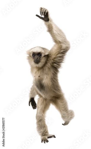 Foto op Aluminium Aap Front view of Young Pileated Gibbon, 1 year old, walking