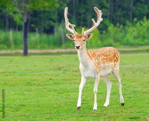Foto op Aluminium Ree Feral Deer