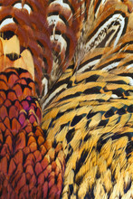 Background Close Up Consisting Of  Ringneck Pheasant Feathers