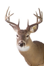 Large Whitetail Buck Isolated ...