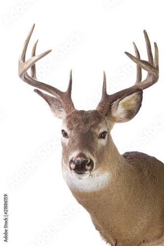 Large whitetail buck isolated on white background Poster