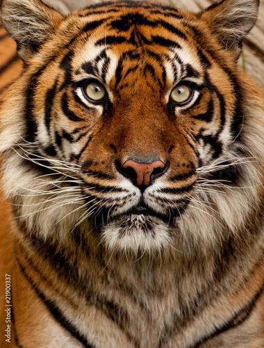 Deurstickers Tijger Tiger portrait