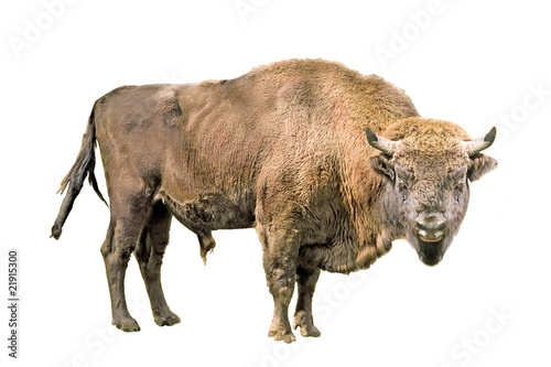 Poster Bison European bison on a white background