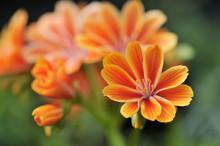 Orange Yellow Lewisia Cotyledo...
