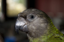 Poicephalus Senegalus