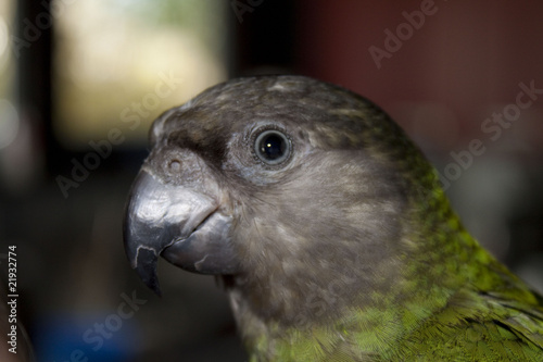 Photo Stands Parrot Poicephalus senegalus