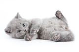 Kot Brytyjski na białym tle