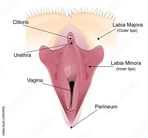 vaginal detailed diagram buy this stock illustration and where is the cliturous located diagram