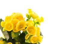 Yellow Begonia I