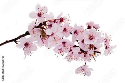 Doppelrollo mit Motiv - Kirschblüte