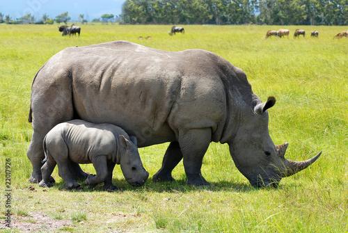 Poster Rhino white rhino with 2 weeks calf