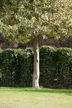 A Single, Variegated Holly Tree In Front Of A Hedge