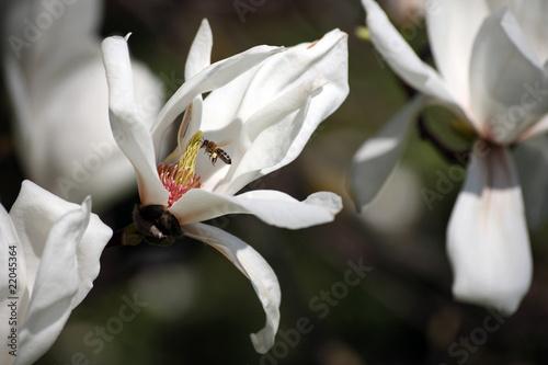 Photo Weiße Sternmagnolie und Biene