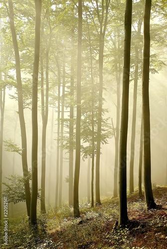 Papiers peints Foret brouillard Misty beech forest in early autumn