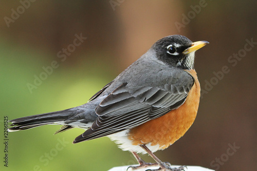 Fototapeta American Robin
