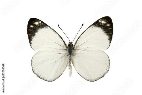 Butterfly - Black Jezebel, Delias nigrina