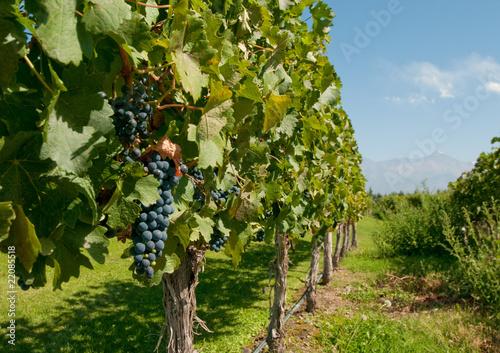 Fotografie, Obraz  Vineyards of Mendoza, Argentina
