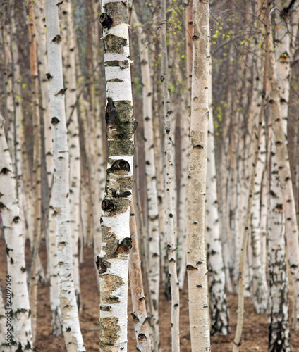 Photo Stands Birch Grove Birch trees in spring