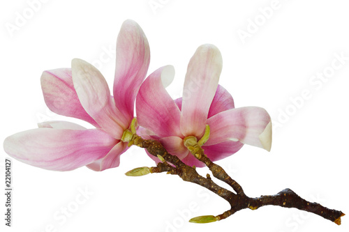 Photo Stands Magnolia Magnolia Flowers