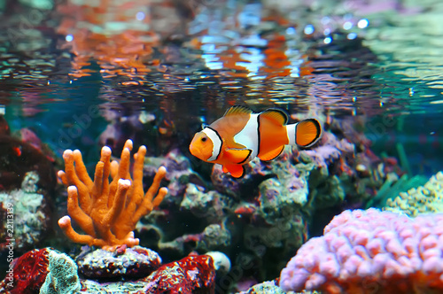 In de dag Onder water Ocellaris clownfish