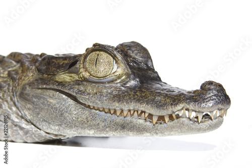 Foto op Plexiglas Krokodil Brillenkaiman Portrait (Caiman yacara)