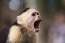 Capuchin White Faced Monkey Wi...