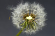 dandelion close-up 2