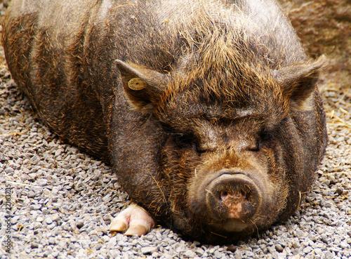 Photo  pig #1