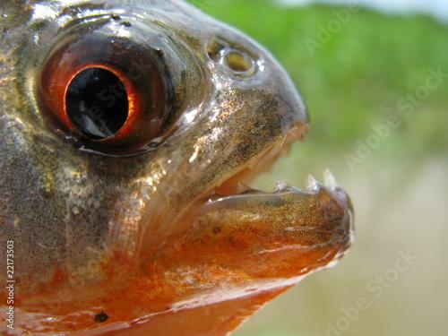 Valokuva  Piranha Cajú (Pygocentrus natterery)