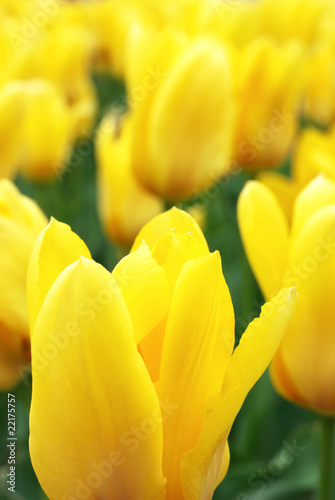Yellow tulips - 22175757