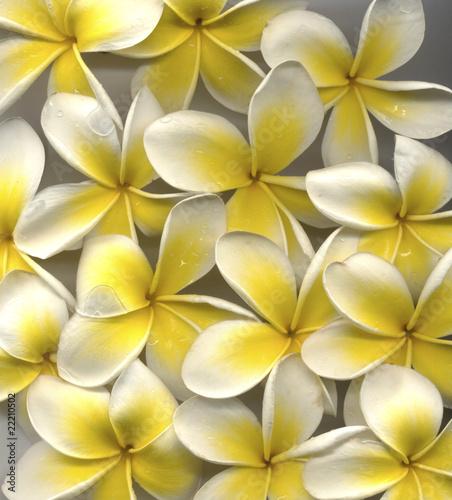 Foto op Canvas Frangipani flowers