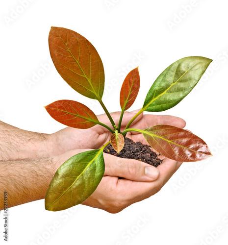 Staande foto Kameleon avocado tree seedling in hands as a symbol of nature protection