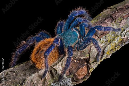 Photographie Tarantula crawling
